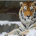 东北地区的朋友前段时间最为关心的资讯就是关于野生东北虎