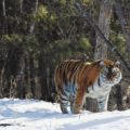 前段时间东北地区人们最关注的资讯就是野生东北虎伤人事件