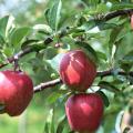 苹果已经快到成熟的时候,学会吸收苹果中营养物质非常关键